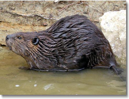 Beaver Removal Nashville