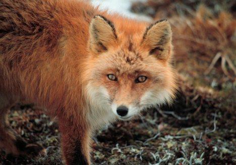 Fox Removal Nashville