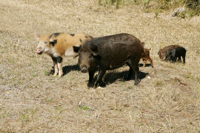Wild Hog Removal Nashville