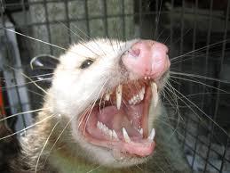 Opossum Removal Nashville